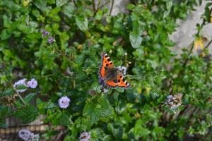 papillon vole dsc_0018-300x200
